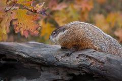 Woodchuck Marmota monax Looks Left Atop Log Autumn. Captive animal royalty free stock images