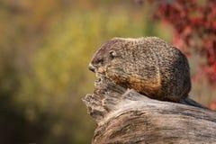 Woodchuck (Marmota monax) Looks Left From Log. Captive animal Stock Image