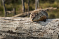 Woodchuck (Marmota monax) Looks Out from Atop Log stock photo