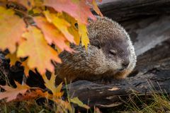 Woodchuck Marmota monax Looks Out From Within Log Autumn royalty free stock photography