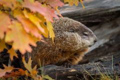 Woodchuck Marmota monax Looks Right From Within Log Autumn. Captive animal royalty free stock photography