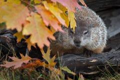 Woodchuck Marmota monax Peers Around Autumn Leaves. Captive animal royalty free stock photos