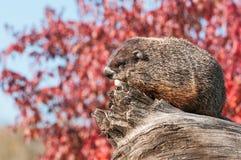 Woodchuck (Marmota monax) Rests on Log Stock Photos