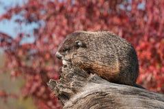 Woodchuck (Marmota monax) Sits Facing Left on Log Stock Photo