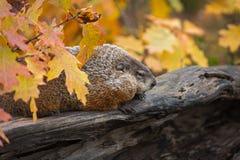 Woodchuck Marmota monax Sits on Log with Autumn Leaves. Captive animal royalty free stock image