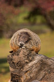 Woodchuck (Marmota monax) Snoozes Atop Log. Captive animal Stock Photos