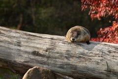 Woodchuck (Marmota monax) Snoozes on Log Stock Images