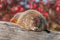 Woodchuck (Marmota monax) Snoozing Stock Photography