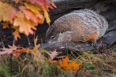 Woodchuck Marmota monax Snuggles Inside Log. Captive animal royalty free stock images