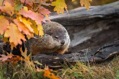 Woodchuck Marmota monax Steps Up From Inside Log. Captive animal royalty free stock photos