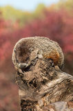 Woodchuck (Marmota monax) Takes a Snooze Stock Image