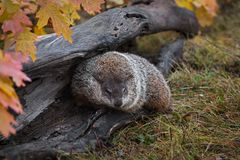 Woodchuck Marmota monax Turns In Log Autumn. Captive animal stock image
