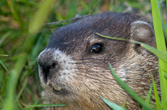 Woodchuck peering out. This animal is also known as a Groundhog and loves to eat Royalty Free Stock Photography
