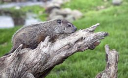 Woodchuck profile. Close up of a young, baby woodchuck or groundhog. Springtime in Wisconsin stock photo