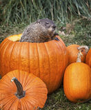 Woodchuck and pumpkins Stock Photo