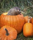 Woodchuck and pumpkins stock photo