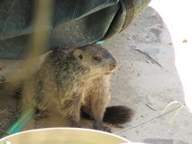 Woodchuck resting from the sun. A small woodchuck hiding underneath a boat from the Tennessee heat royalty free stock photo