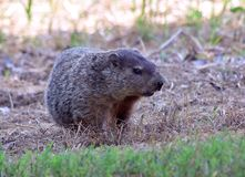 Woodchuck in the shade. A woodchuck sits in the dry grass of an old field royalty free stock images