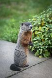 Woodchuck in the Suburbs. Woodchuck sitting up on a patio stock images