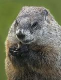 Woodchuck Snacking. A hungry woodchuck takes time out to snack with a meal of nuts in Livingston, New Jersey, a leafy suburb, 20 miles from Manhattan, which is royalty free stock photo