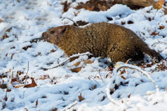 Woodchuck in the snow Royalty Free Stock Photography