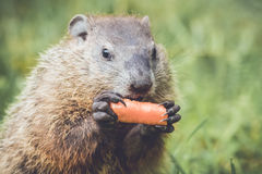 Woodchuck about to eat carrot close to mouth Royalty Free Stock Images