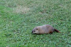 Woodchuck Trying to Hide in Plain Sight stock photography