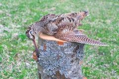 Woodcock closeup - a trophy hunter Stock Photos