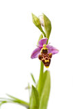 Woodcock Orchid - Ophrys scolopax Royalty Free Stock Photos