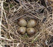 woodcocks nest and eggs Royalty Free Stock Photos