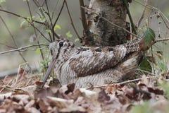 Woodcock, Scolopax rusticola Stock Photos