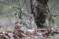 Woodcock, Scolopax rusticola Royalty Free Stock Photo