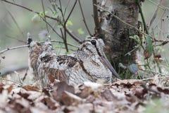 Woodcock, Scolopax rusticola Stock Image