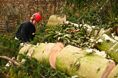 Woodcutter in action on the ground with chainsaw in denmark Stock Photo