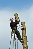 Woodcutter in action in a tree in denmark Stock Image