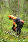 Woodcutter cuts the branches cut tree chainsaw. Northern Finland, Lapland Stock Image