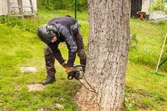 Woodcutter cuts the old walnut tree. Work from a chain saw. Wood preparation for heating. stock photography
