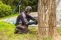 Woodcutter cuts the old walnut tree. Work from a chain saw. Wood preparation for heating. stock photo