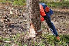 The woodcutter is cutting down a tree Royalty Free Stock Images