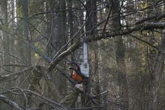 Woodcutter saws tree with chainsaw in forest. woodcutter`s hand with a chainsaw saws off a branch, shavings and sawdust from. Sawing fly apart royalty free stock photos
