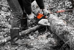 Woodcutter saws tree with chainsaw in forest. woodcutter`s hand with a chainsaw saws off a branch, shavings and sawdust from. Sawing fly apart stock photo