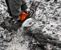 Woodcutter saws tree with chainsaw in forest. woodcutter`s hand with a chainsaw saws off a branch, shavings and sawdust from. Sawing fly apart royalty free stock image