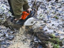Woodcutter saws tree with chainsaw in forest. woodcutter`s hand with a chainsaw saws off a branch, shavings and sawdust from. Sawing fly apart royalty free stock images