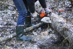 Woodcutter saws tree with chainsaw in forest. woodcutter`s hand with a chainsaw saws off a branch, shavings and sawdust from. Sawing fly apart stock images
