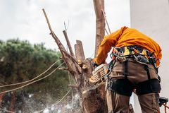 Woodcutter saws tree with chainsaw on sawmill. Concept cut rotten and old logs after hurricane.  stock photo