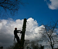Woodcutter silhouette on the top of a tree in action in denmark Royalty Free Stock Image