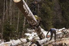 Woodcutter using a chain saw to cut the tree trunk into logs Royalty Free Stock Images