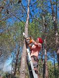 Woodcutter working in the forest on a high ladder with a chainsaw stock photos
