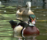 Woodduck Royalty Free Stock Images
