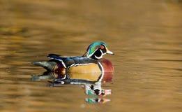 Woodduck dans un étang, mâle Images libres de droits